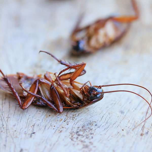 Roach Treatments and Prevention