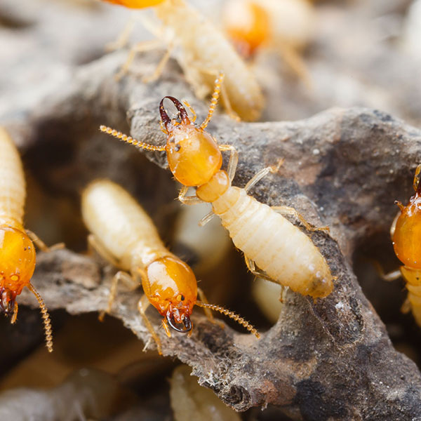 Termite Control Inspection