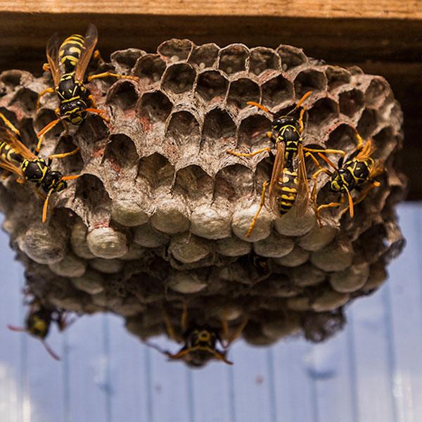 Wasp Hornet Bee Control Fairfax VA